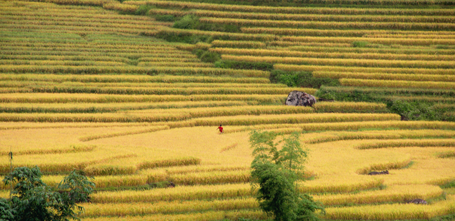 Rice crops in Lao Cai-7