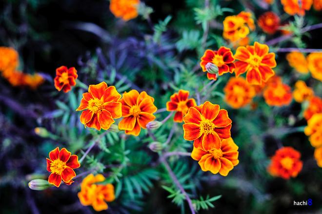 Flowers in Ha Giang-10